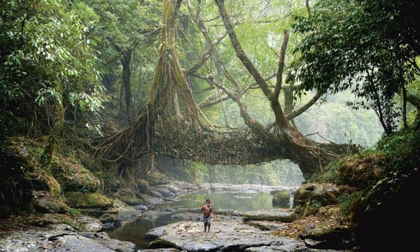 Could living root bridges similar to those used by the Khasi hill tribe be grown in urban settings?